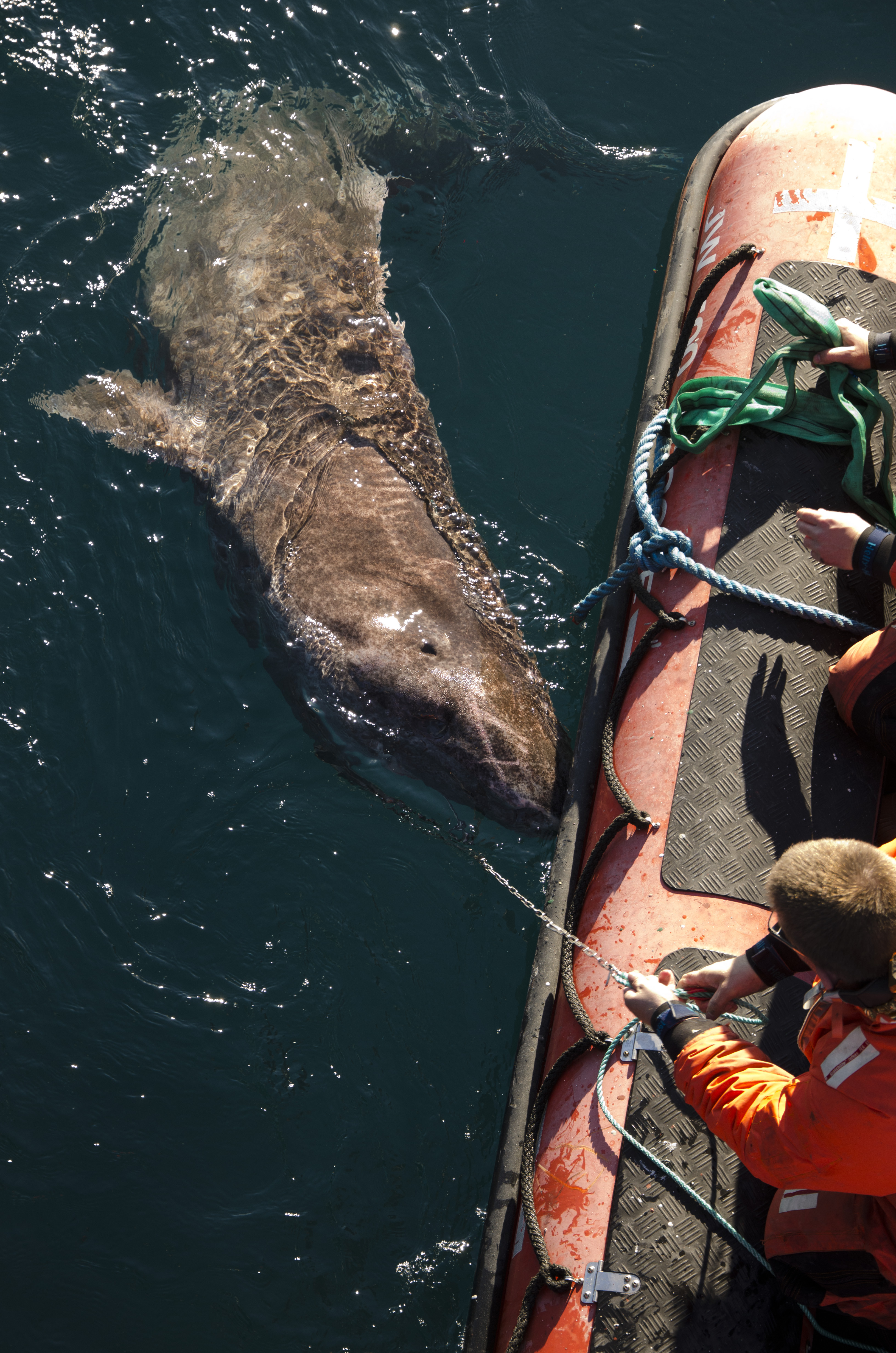 a study on the greenland shark